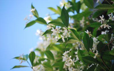 A Jasmine Peace of Mind